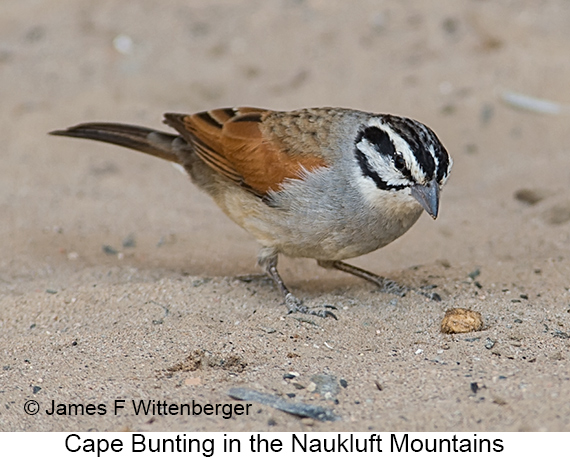 Cape Bunting - © The Photographer and Exotic Birding LLC
