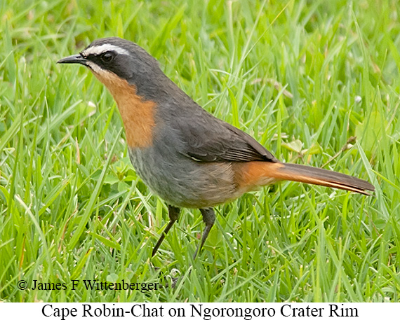 Cape Robin-Chat - © The Photographer and Exotic Birding LLC