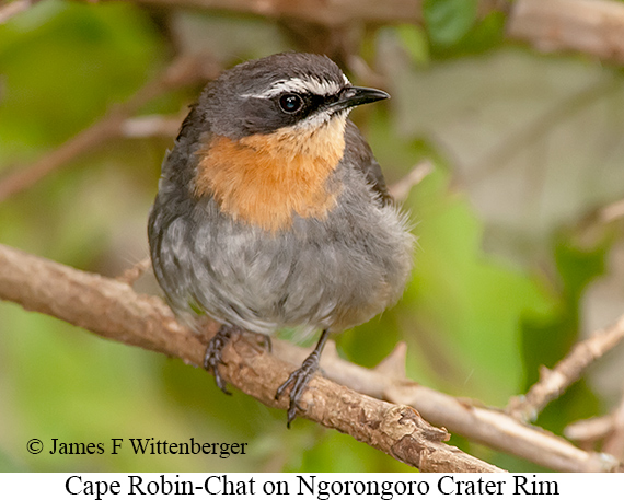 Cape Robin-Chat - © James F Wittenberger and Exotic Birding LLC