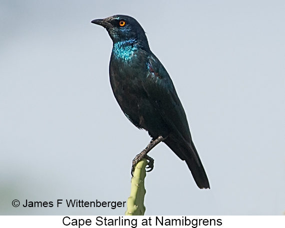 Cape Starling - © James F Wittenberger and Exotic Birding LLC