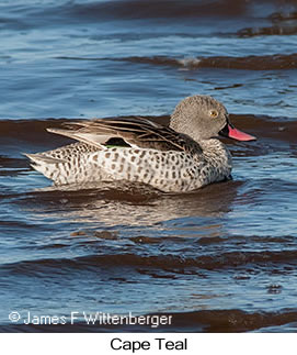 Cape Teal - © James F Wittenberger and Exotic Birding LLC