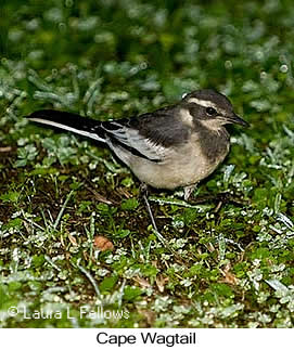 Cape Wagtail - © Laura L Fellows and Exotic Birding LLC