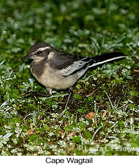Cape Wagtail - © Laura L Fellows and Exotic Birding Tours