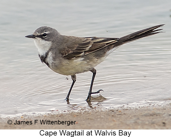 Cape Wagtail - © James F Wittenberger and Exotic Birding LLC