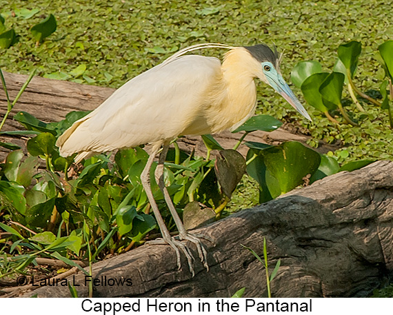 Capped Heron - © Laura L Fellows and Exotic Birding LLC