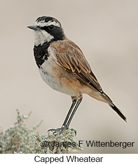 Capped Wheatear - © James F Wittenberger and Exotic Birding LLC
