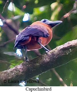 Capuchinbird - © Laura L Fellows and Exotic Birding Tours