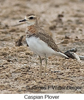 Caspian Plover - © James F Wittenberger and Exotic Birding LLC
