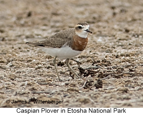 Caspian Plover - © The Photographer and Exotic Birding LLC