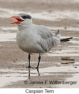 Caspian Tern - © James F Wittenberger and Exotic Birding LLC