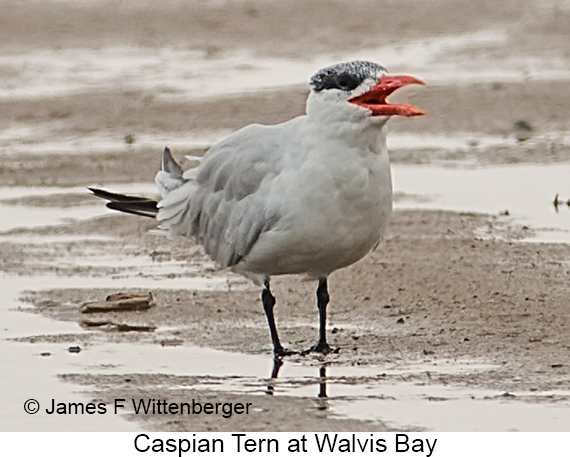 Caspian Tern - © Laura L Fellows and Exotic Birding Tours