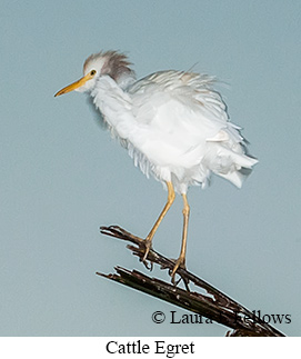 Cattle Egret - © Laura L Fellows and Exotic Birding LLC