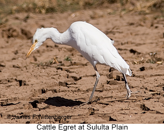Cattle Egret - © James F Wittenberger and Exotic Birding LLC