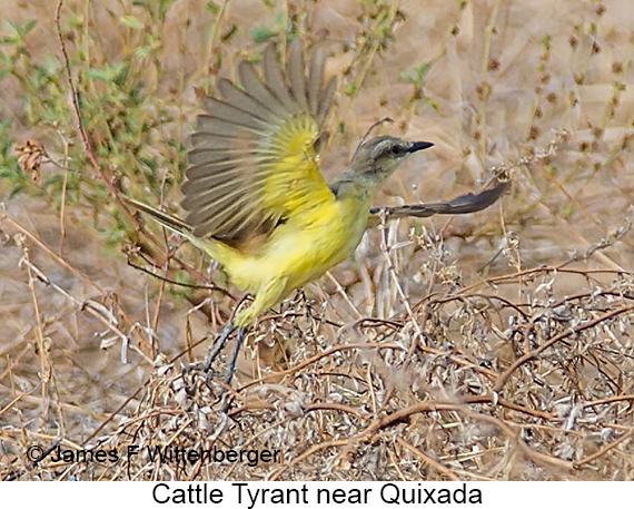 Cattle Tyrant - © The Photographer and Exotic Birding LLC