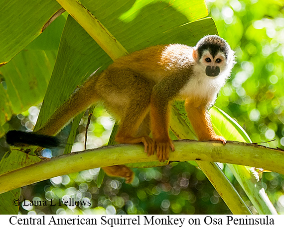 Central American Squirrel Monkey - © Laura L Fellows and Exotic Birding Tours