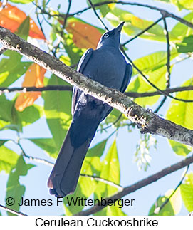 Cerulean Cuckooshrike - © James F Wittenberger and Exotic Birding Tours