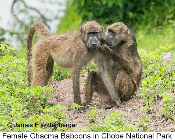 Chacma Baboon - © The Photographer and Exotic Birding LLC