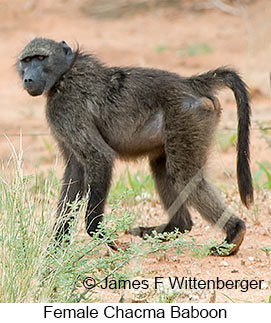 Chacma Baboon - © James F Wittenberger and Exotic Birding LLC