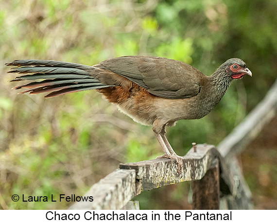Chaco Chachalaca - © Laura L Fellows and Exotic Birding LLC