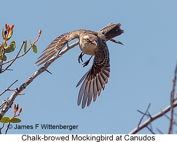 Chalk-browed Mockingbird - © The Photographer and Exotic Birding LLC