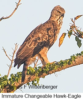Changeable Hawk-Eagle - © James F Wittenberger and Exotic Birding Tours