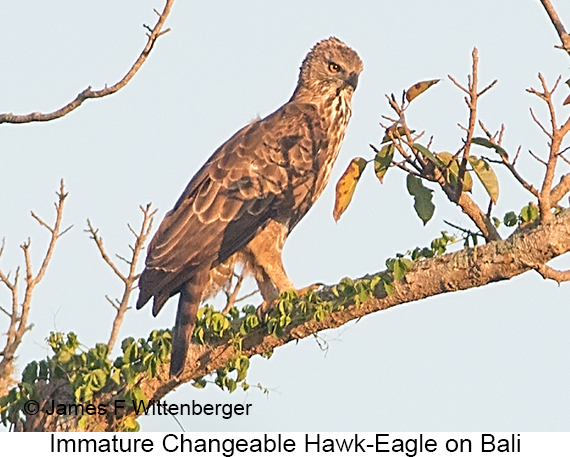 Changeable Hawk-Eagle - © James F Wittenberger and Exotic Birding LLC