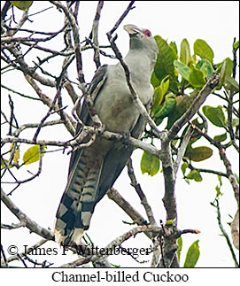 Channel-billed Cuckoo - © James F Wittenberger and Exotic Birding Tours