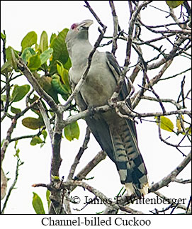Channel-billed Cuckoo - © James F Wittenberger and Exotic Birding LLC