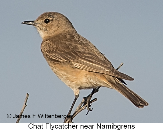 Chat Flycatcher - © James F Wittenberger and Exotic Birding LLC