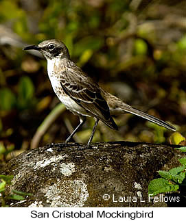 San Cristobal Mockingbird - © Laura L Fellows and Exotic Birding LLC