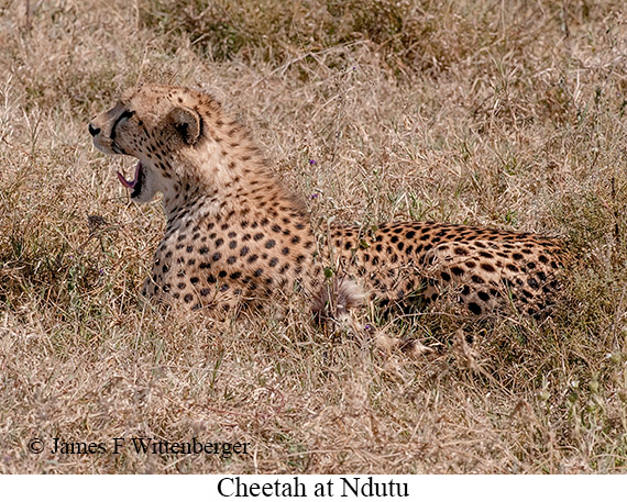 Cheetah - © James F Wittenberger and Exotic Birding Tours