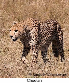 Cheetah - © James F Wittenberger and Exotic Birding LLC