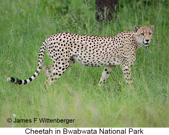 Cheetah - © The Photographer and Exotic Birding LLC