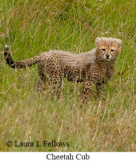 Cheetah - © Laura L Fellows and Exotic Birding Tours
