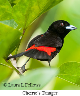Cherrie's Tanager - © Laura L Fellows and Exotic Birding Tours