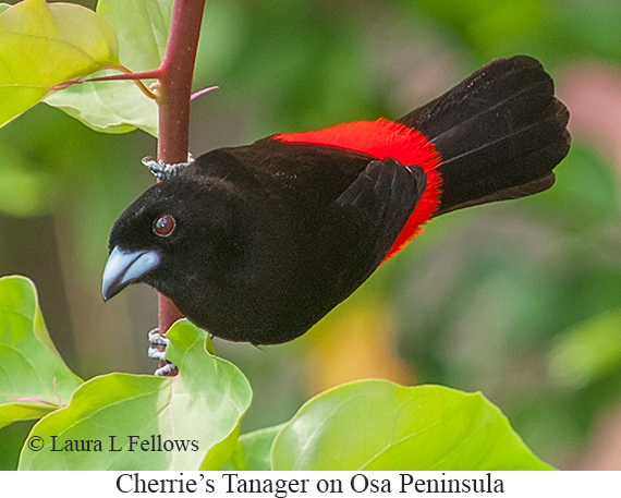 Cherrie's Tanager - © Laura L Fellows and Exotic Birding LLC