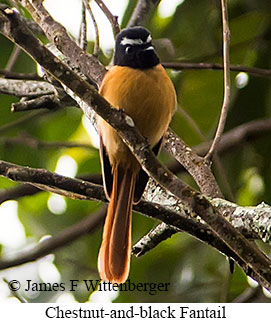 Chestnut-and-black Fantail - © James F Wittenberger and Exotic Birding Tours