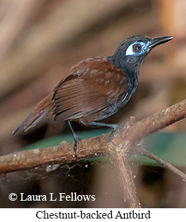 Chestnut-backed Antbird - © Laura L Fellows and Exotic Birding Tours