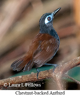 Chestnut-backed Antbird - © Laura L Fellows and Exotic Birding LLC