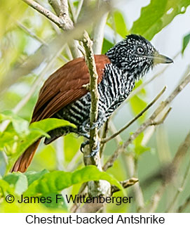 Chestnut-backed Antshrike - © James F Wittenberger and Exotic Birding LLC