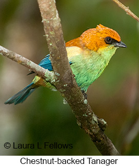 Chestnut-backed Tanager - © Laura L Fellows and Exotic Birding Tours