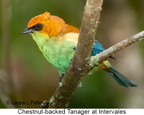 Chestnut-backed Tanager - © Laura L Fellows and Exotic Birding LLC