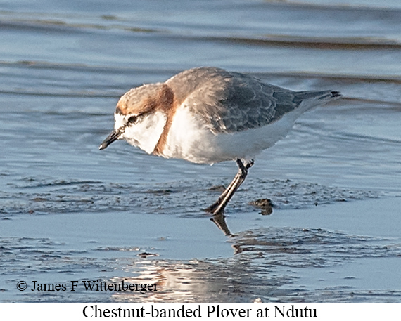 Chestnut-banded Plover - © James F Wittenberger and Exotic Birding LLC