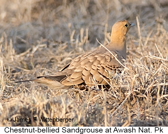 Chestnut-bellied Sandgrouse - © James F Wittenberger and Exotic Birding LLC