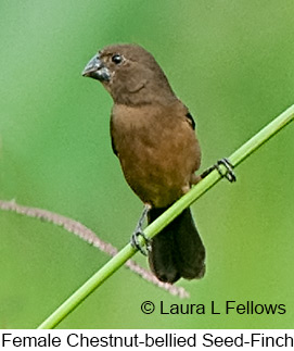 Chestnut-bellied Seed-Finch - © Laura L Fellows and Exotic Birding LLC