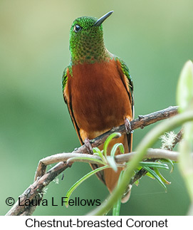 Chestnut-breasted Coronet - © Laura L Fellows and Exotic Birding Tours