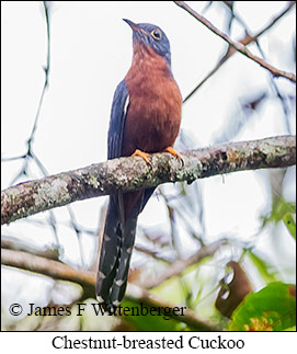 Chestnut-breasted Cuckoo - © James F Wittenberger and Exotic Birding Tours