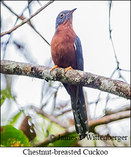 Chestnut-breasted Cuckoo - © James F Wittenberger and Exotic Birding LLC