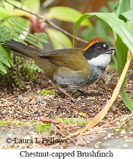 Chestnut-capped Brushfinch - © Laura L Fellows and Exotic Birding Tours