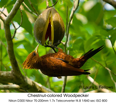 Chestnut-colored Woodpecker - © Laura L Fellows and Exotic Birding Tours